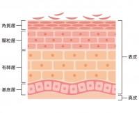コラーゲンは真皮層で作られる