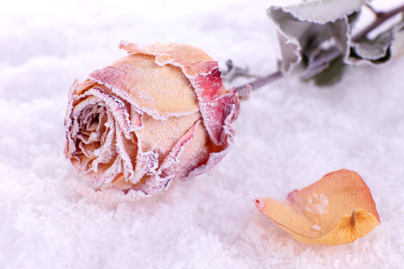 Dried rose covered with hoarfrost on snow close up